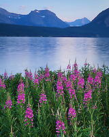 Morning light on Fireweed on the shore of St. Mary Lake; Glacier National Park, MT