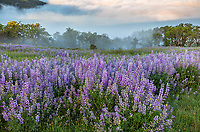 Redwood National Park, CA: Hillside of bigleaf lupine (Lupinus polyphyllus) and Oregon white oaks (Quercus garryana) with rising fog in the Bald Hills