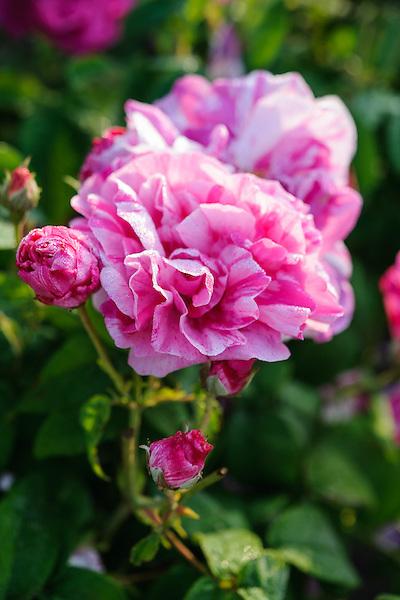 Rosa 'Mundi'