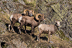 Bighorn sheep rams and ewe during the rut.  Western Montana.