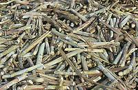 jbo70351 asia Philippines Negros farming agriculture biomass energy landless labourer people work on sugarcane sugar cane plantation hazienda.Asien Philippinen Negros Landwirtschaft landlose Landarbeiter mit Machete bei Zuckerrohrernte Zucker Zuckerrohr Biomasse Bagasse Energie.copyright Joerg Boethling/agenda ph. ++49 40 39190714
