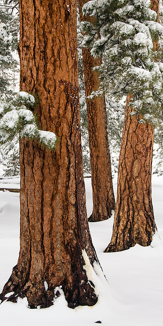 ponderosa pine trunks, Pinus ponderosa, winter landscape in May, Rocky Mountain National Park, May, Colorado, USA