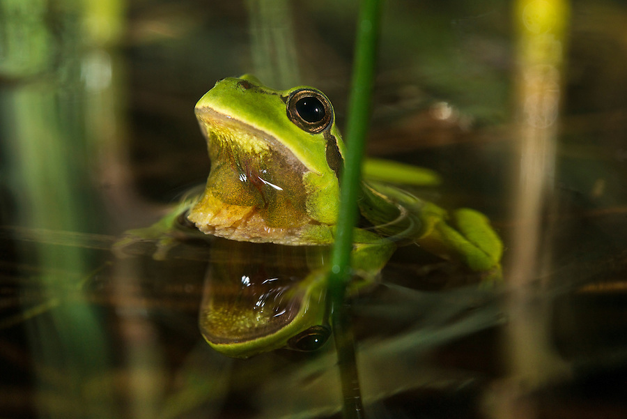 European tree frog (Hyla arborea), l&ouml;vgroda.<br /> Location: Frihult, Sk&aring;ne, Sweden