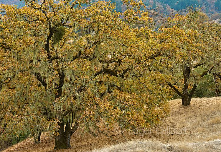 Valley Oaks, Quercus lobata, Acorn Ranch, Yorkville Highlands, Mendocino County, California.psd