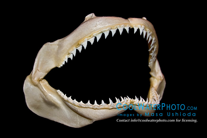 jaws of sandbar shark, Carcharhinus plumbeus - lower jaw has rows of daggerlike teeth which grasp and hold fast-swimming prey, and upper jaw has serrated tooth which carve out bites from preys, differences in shark tooth size and shape reflect what and how they prey on, Hawaii