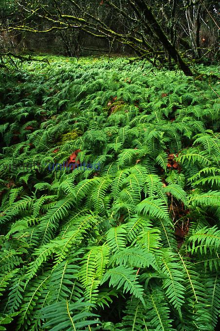 Licorice Fern (Polypodium glycyrrhiza), Columbia River Gorge, Oregon, USA