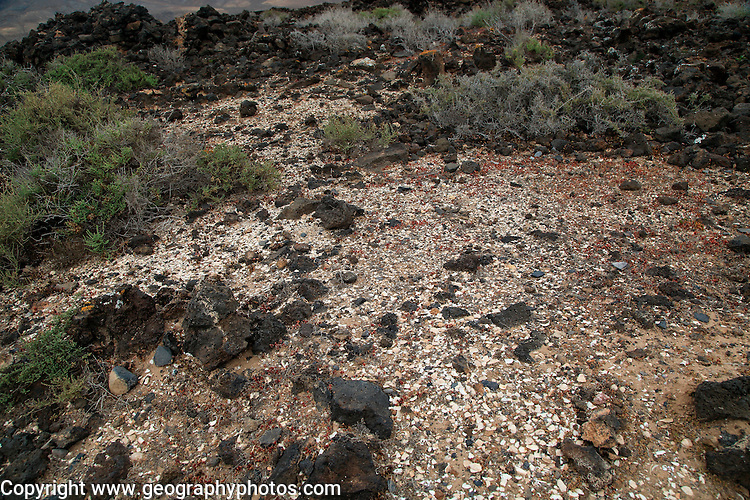 Sea-shells midden pre-Spanish Mahos village, Poblado de la Atalayita, Pozo Negro, Fuerteventura, Canary Islands, Spain