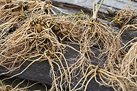 Baldrian, Echter Baldrian, Echter Arznei-Baldrian, Arzneibaldrian, Katzenwurzel, Wurzel, Wurzeln, Wurzelstock, Baldrianwurzeln, Baldrian-Wurzel, Baldrian-Wurzeln, Valeriana officinalis, Common Valerian, Root, Roots, root stock, Valériane officinale