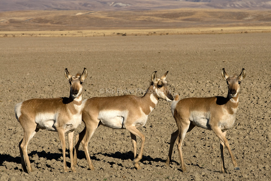 Pronghorns live primarily in grasslands but also in brushland and deserts. They eat a wide variety of plant foods, often including plants that are unpalatable or toxic to domestic livestock.
