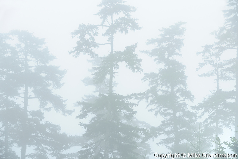 Trees in Fog on Agate Beach. Naikoon Provincial Park. Graham Island. , Haida Gwaii (formerly the Queen Charlotte Islands), British Columbia, Canada