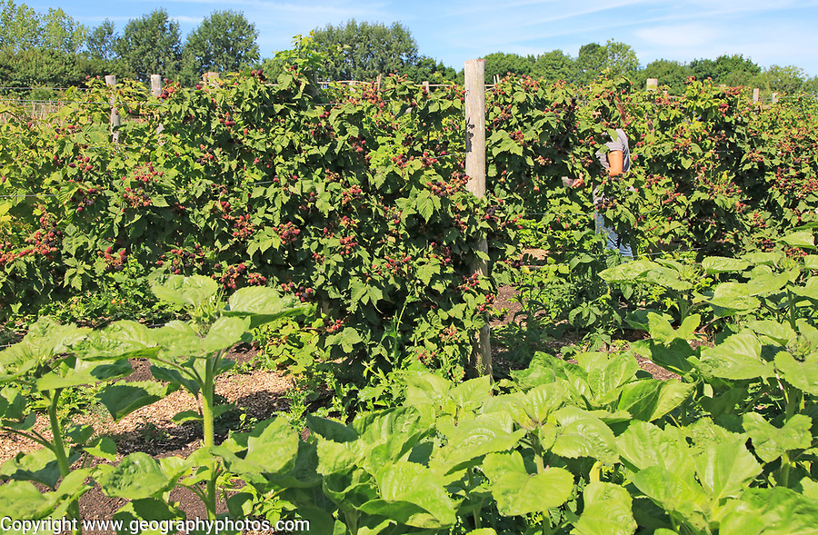 Sunflower and blackberry plants growing in vegetable garden, Sissinghurst castle gardens, Kent, England, UK
