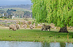 Sheep grazing on the banks of Macquarie River in Ross, Tasmania, Australia,