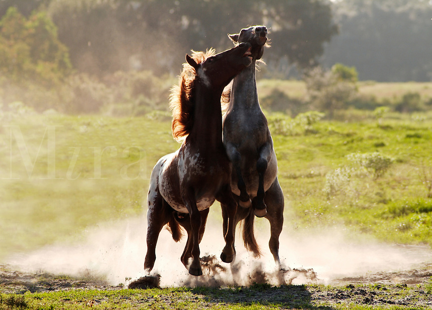Weanling Appaloosa colt and filly at play...