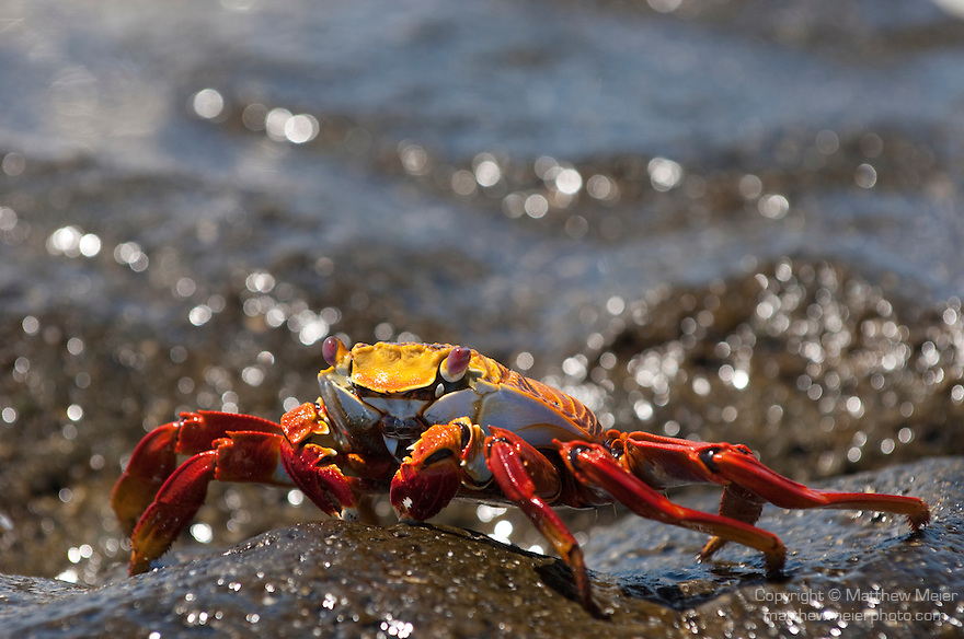 Las Bachas Beach, Santa Cruz Island, Galapagos, Ecuador; a Sally Lightfoot Crab (Grapsus grapsus) on the volcanic rocks at the shore by the water's edge , Copyright © Matthew Meier, matthewmeierphoto.com All Rights Reserved