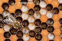 1B14-500z  Honeybee Hive with Worker tending larvae, open cells containing larvae, sealed worker cells, Apis Mellifera, Race Carniolans