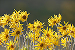 Balsamroot Flowers in bloom in western Montana