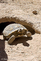 0609-1006  Desert Tortoise Emerging from Burrow to Forage for Food (Mojave Desert), Gopherus agassizii  © David Kuhn/Dwight Kuhn Photography