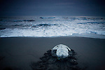 Green Sea Turtle (Chelonia mydas) female returning to sea after laying eggs, Tortuguero National Park, Costa Rica