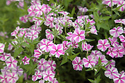 Phlox - Intensia Star Brite flowers during the summer months at  Prescott Park in Portsmouth, New Hampshire USA