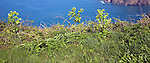 Coastal vegetation and sea view, Island of Sark, Channel Islands, Great Britain