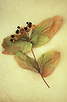Dried stem of St Johns wort or Tutsan or Hypericum with black berries and large browning leaves lying on antique paper