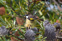 Australian Honeyeaters & Allies