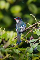 A Cuban Trogon (Priotelus temnurus), the national bird, near Sierra de Cubitas, Cuba.