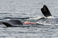 southern right whale, Eubalaena australis, mating in the Nuevo Gulf, Valdes Peninsula, Argentina, South Atlantic Ocean