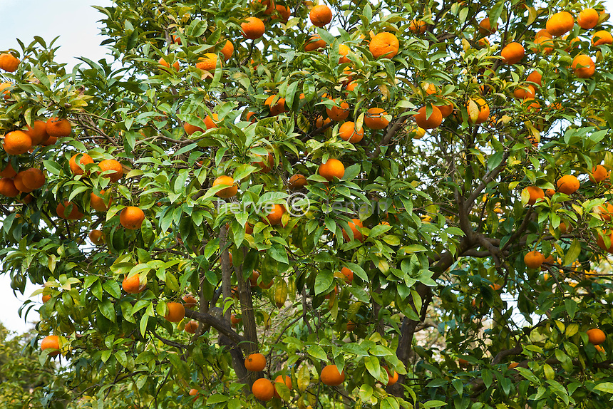 France, Alpes-Maritimes (06), Saint-Jean-Cap-Ferrat, le jardin botanique des Cèdres:.la collection d'agrumes, orange amère, bigarade, (Citrus aurantium). // France, Alpes-Maritimes, Saint-Jean-Cap-Ferrat, bitter orange, also known as Seville orange, sour orange, bigarade orange, and marmalade orange, (Citrus aurantium)