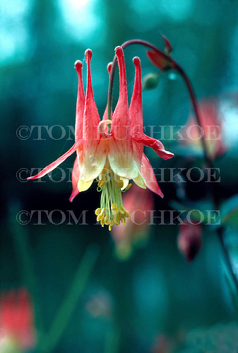 Western Columbine, (Aquilegia formosa) at Isle Royale National Park, Michigan.