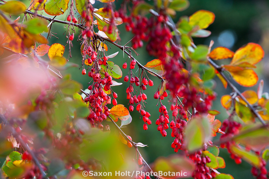 Red berries of Berberis (Barberry) in autumn, Gary Ratway garden
