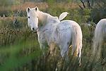 Camargue Horse, Ile de la Camargue, France