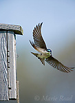 Tree Swallow (Tachycineta bicolor) flying to its nestbox carrying a feather, Ithaca, New York, USA