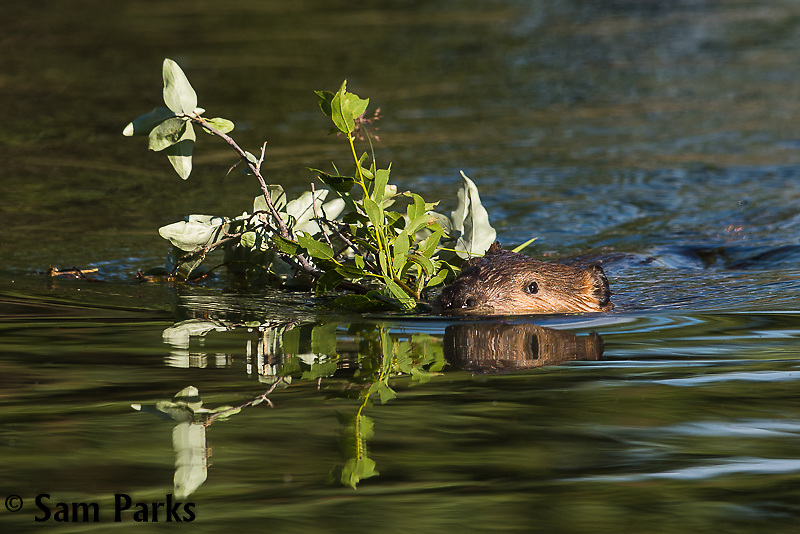 Beaver swimming with branches. Grand Teton National Park, Wyoming.