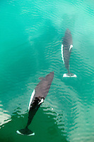 Dall's Porpoise in Aialik Bay, Kenai Fjords National Park, Alaska