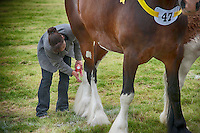 Preparing a Shire horse for showing at Great Eccleston Show, Lancashire.