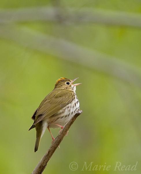Ovenbird (Seiurus aurocapillus), singing in spring, Dryden, New York, USA
