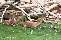 0523-1110  Small Herd of Gerenuk, Resting, Litocranius walleri  © David Kuhn/Dwight Kuhn Photography