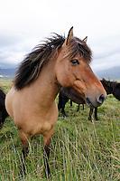 Equus ferus caballus, Island Pferde, Falbe, Icelandic horses, buckskin, Nord Island, North Island