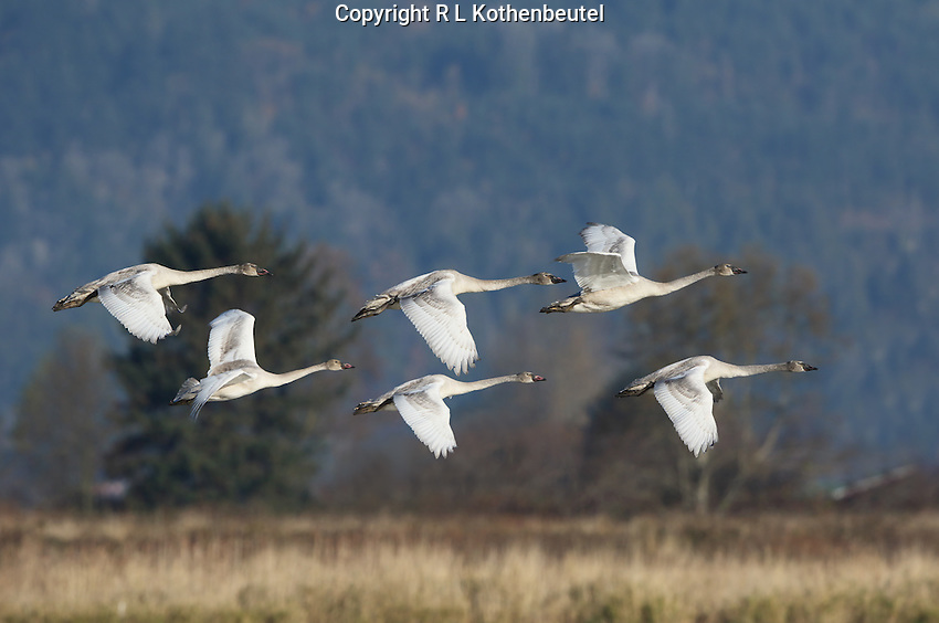 A brood of 6 juvenile trumpeter swans (the adults where not in the frame for this image)fly over the Samish Flats near Edison, Washington. This is the largest brood of trumpeter swans I have ever seen.<br />