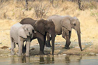 Three African Elephants (Loxodonta africana) standing and drinking water, Etosha National Park, Namibia, Africa