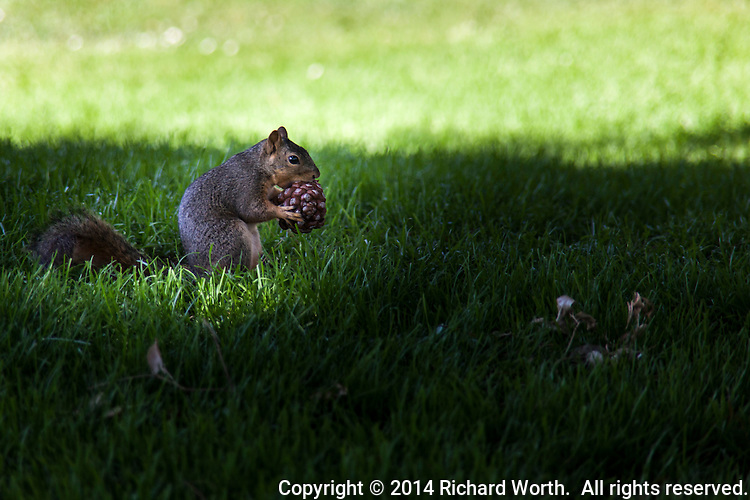An eastern fox squirrel munches on what appears to be a seed pod in the shade of trees at a neighborhood park.