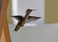 One of the most widespread breeders of the North American hummingbirds, this feisty little Rufous Hummingbird is seen from front with its feet tucked in, wings spread out wide, tail feathers clamped and head and peak in 3/4 profile angainst a white background.