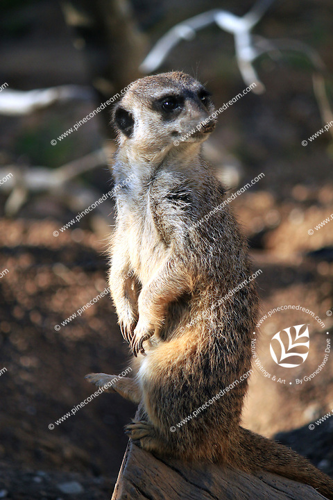 Stock image of Meerkat standing on wood log looking behind in Paphos animal park, Cyprus.<br /> <br /> (For editorial use only)
