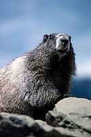 Hoary Marmot (Marmota caligata) basking on Rock in Sun, Manning Provincial Park, BC, British Columbia, Canada, Summer - North American Wildlife