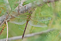 339430027 a wild female common green darner dragonfly anax junius perches on a tree limb in pintail slough on lake havasu national wildlife refuge arizona