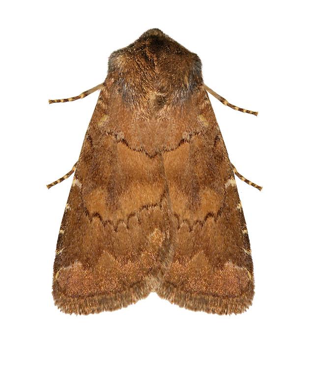 73.102 (2302)<br /> Brown Rustic - Russina ferruginea