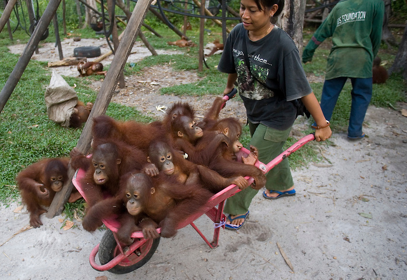 Baby Orangutans at the BOS Foundation (Borneo Orangutan Survival)
