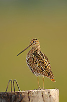 Wilson's Snipe on fence post, Oregon
