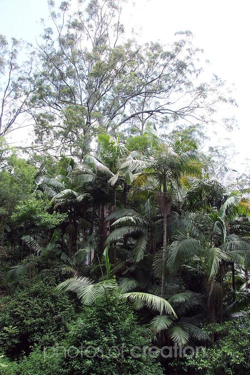 Forest Scene, Sub Tropical Rainforest, Dorrigo Plateau, New South Wales